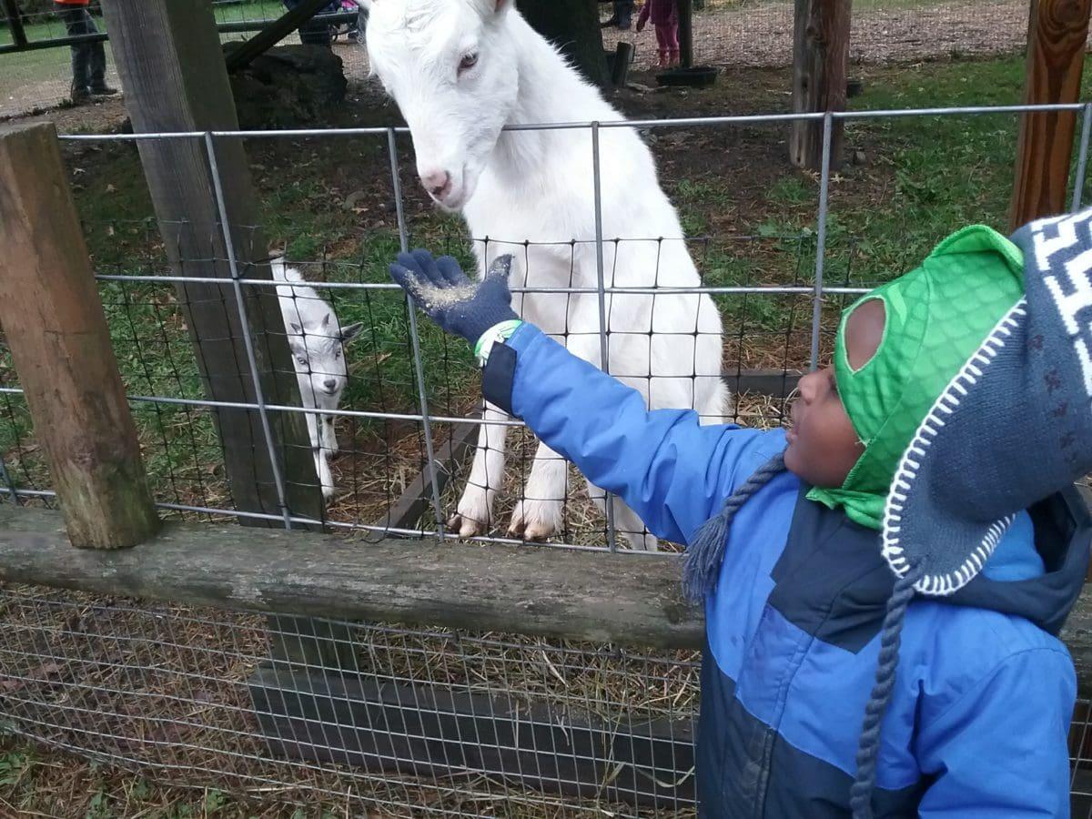 child feeding a goat
